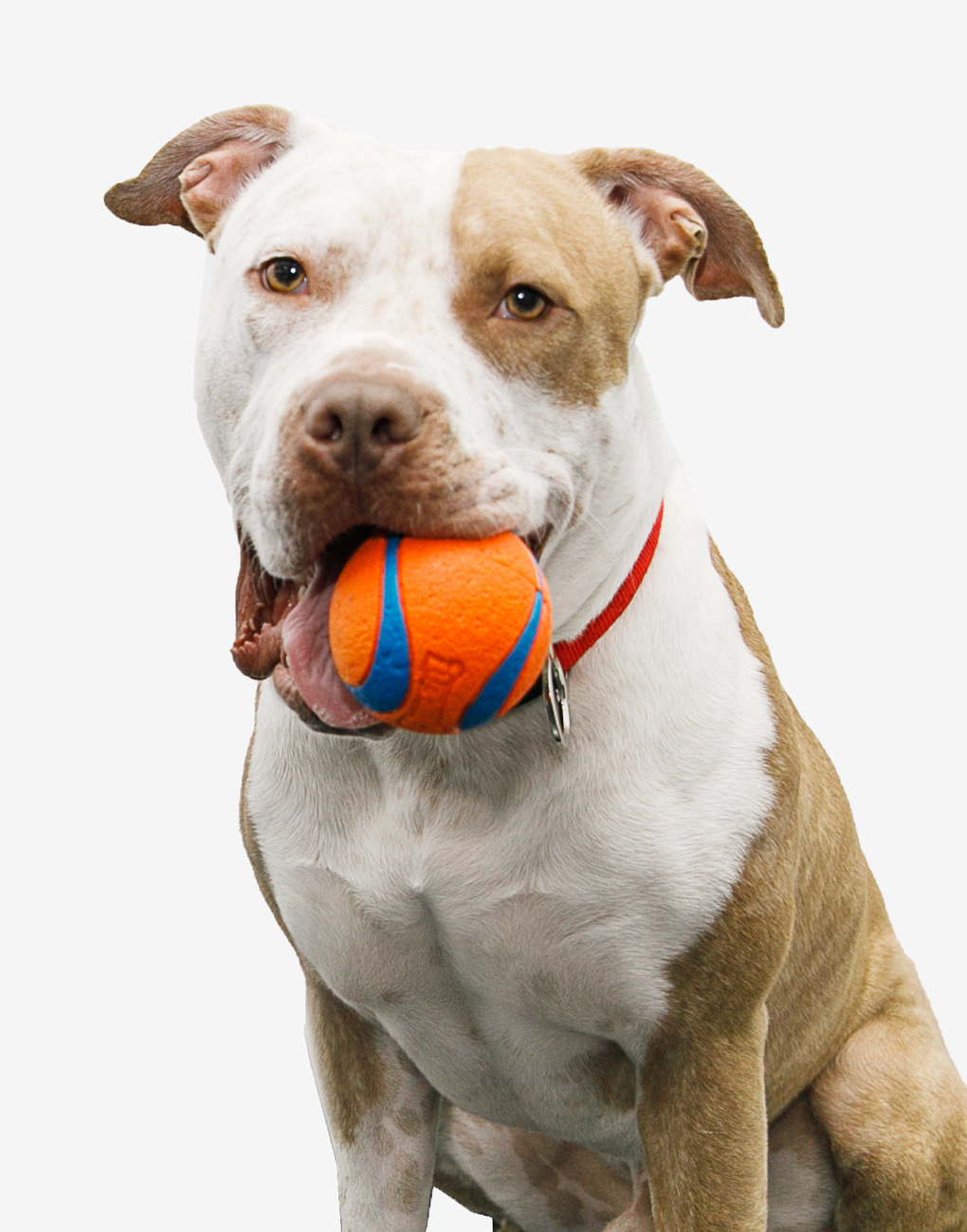 A brown and white pitbull breed dog named Fred with an orange squishy toy ball in his mouth.